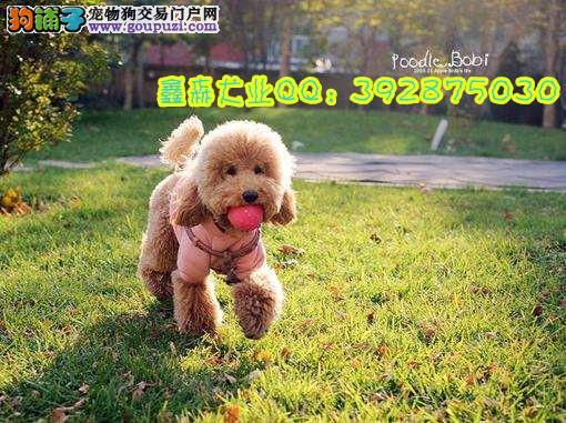 常年出售纯血统泰迪及各种名贵犬