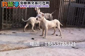 本犬舍常年出售纯种杜高犬