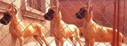 极品大丹幼犬 包纯种保健康 签协议