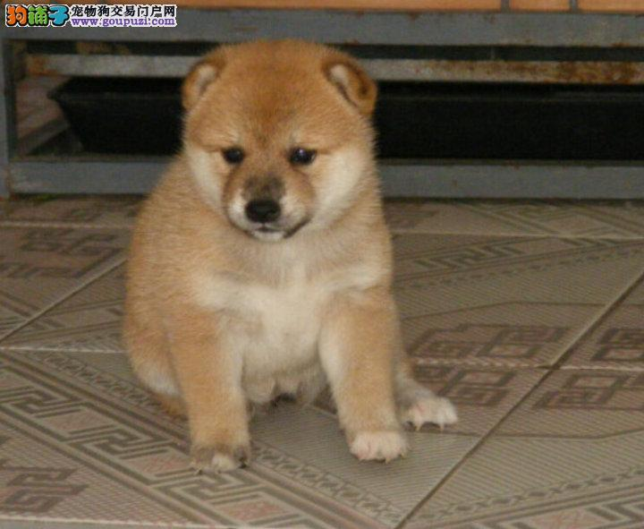 正宗日系小柴犬出售中,多只可选,签合同包健康三个月