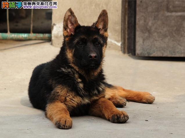 犬舍出售高品质锤系宝宝 赛级血统品相纯正确保健康