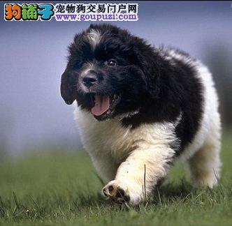 三月纽芬兰幼犬热卖中包纯种保健康签协议