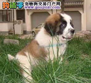 纯正血统圣伯纳上海犬舍出售 上海哪里有圣伯纳卖