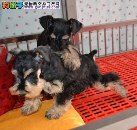 家养雪纳瑞 椒盐色 黑色 幼犬公母都有 疫苗齐全