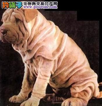 纯种沙皮犬幼犬褶子多品相好选疫苗驱虫均已做齐