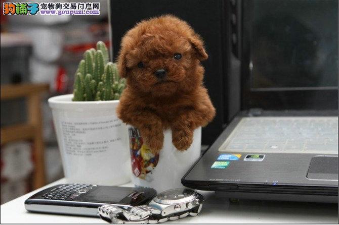 茶杯体博美 泰迪 吉娃娃 比熊 喜欢的上门来看
