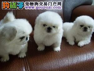 超可爱3个月的小型犬便宜出售 实图为证