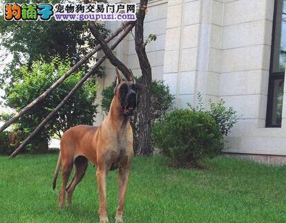 上海哪里可以买到大丹犬 纯种大丹犬好品质保健康