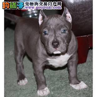 上海出售 血统纯正 品质保障原生态比特幼犬
