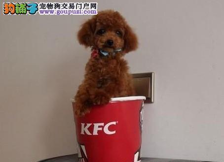 超可爱纯玩具体.泰迪幼犬宝宝 品质.健康.质保