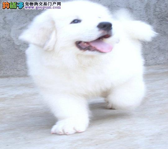 大型养殖基地出售纯种大白熊幼犬 血统纯 保健康