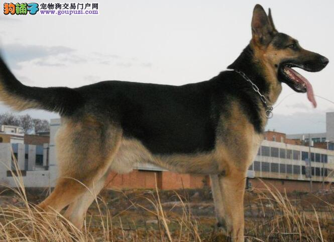 德国牧羊犬昆明犬看家最好的德牧幼犬很猎犬