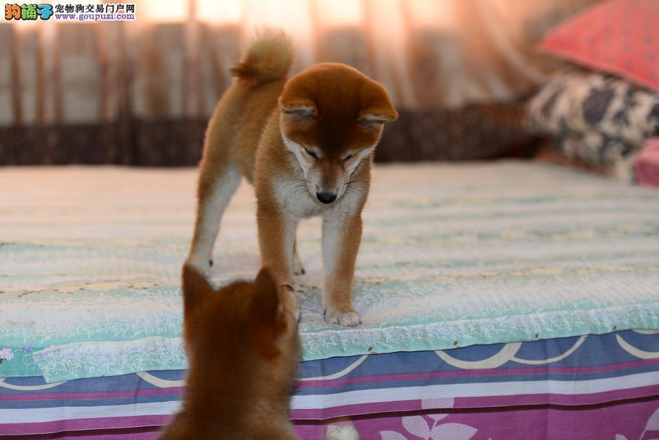 上海本地犬场一出售纯种优品日系柴犬一包养活一签协议