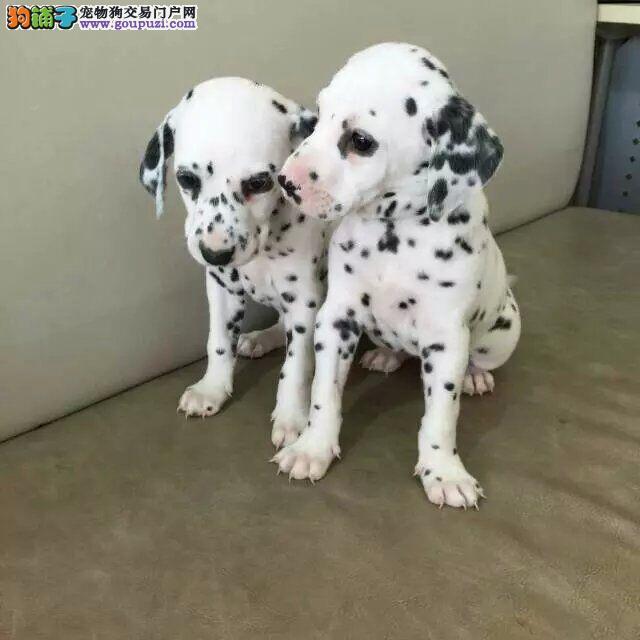 顶级斑点狗,喜欢大麦町犬的朋友联系,三个月健康保证