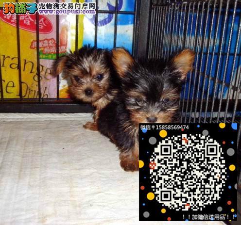 实物拍摄精品约克夏犬 保纯种健康 支持上门看狗狗