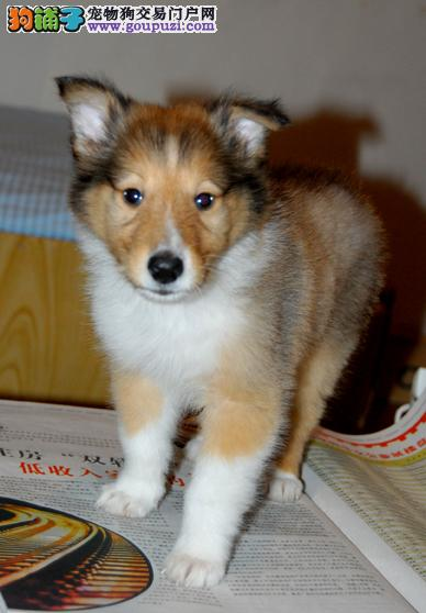犬舍直销精品三个月大苏格兰牧羊犬 包养活 签协议