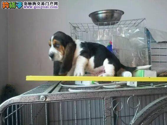 纯种巴吉度猎犬出售中,包健康三个月