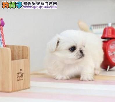 超级可爱 纯种 健康 本市犬