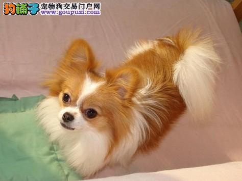 犬舍直销 蝴蝶犬 蝴蝶犬价格 蝴蝶犬知名犬舍包纯健康