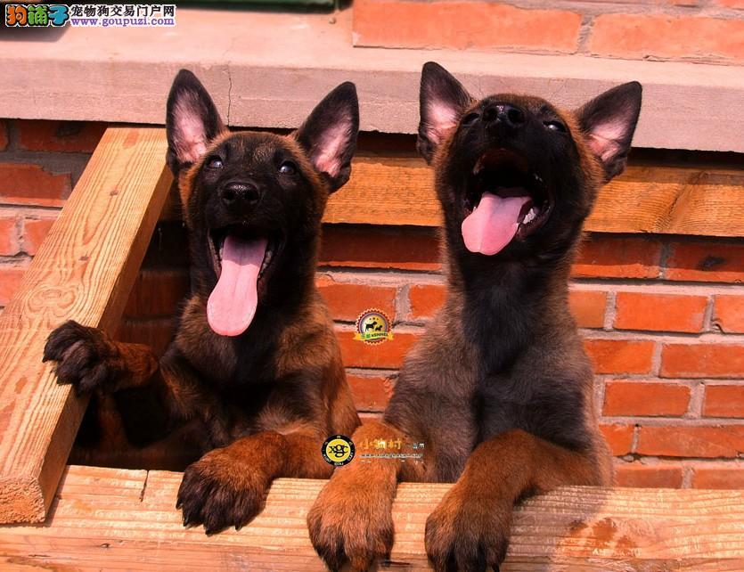 帅气马犬 专业繁殖 纯种健康 签订协议