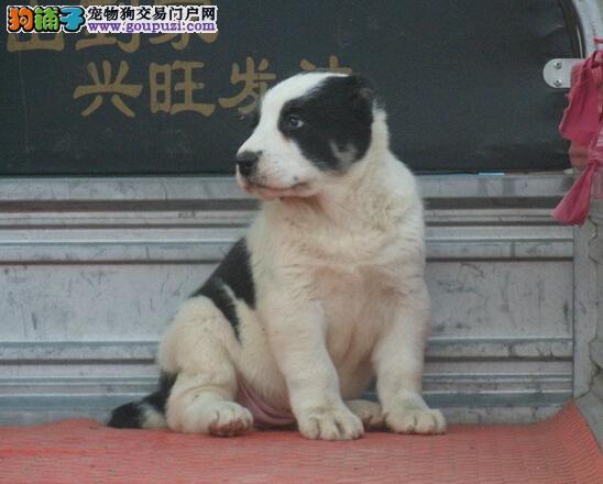中亚牧羊犬 中亚牧羊犬