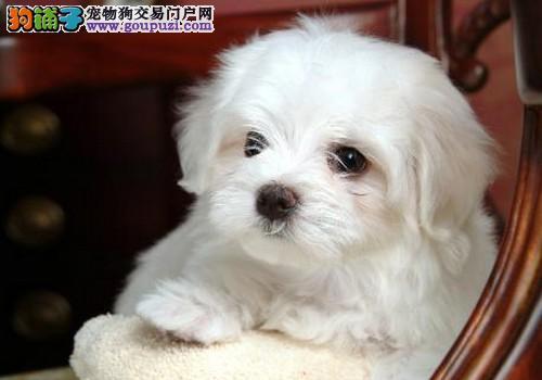 品质犬业  高贵气质马尔济斯犬  签署终身质保协议