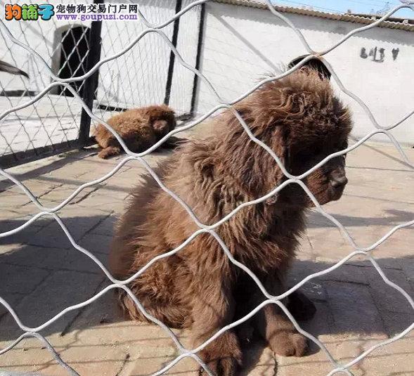 纽芬兰犬 高大上纽芬兰