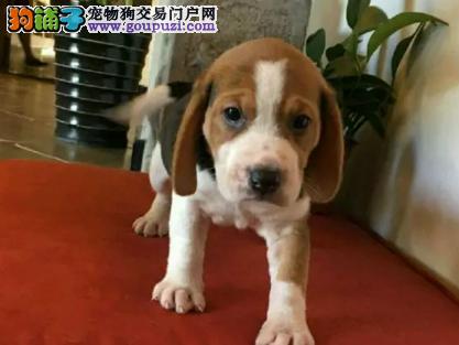 精品比格猎犬纯种有质保签协议