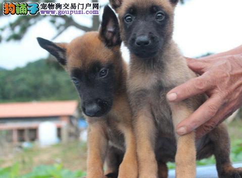 上海哪里右马犬 马犬多少钱