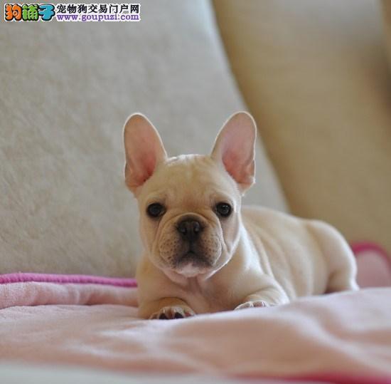 上海本地犬场一出售英国.法国斗牛犬一包养活一签协议