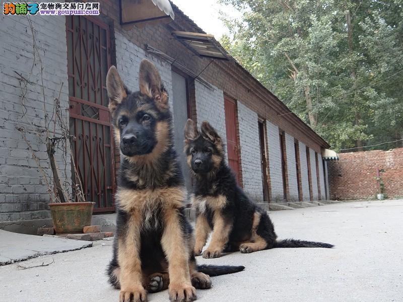 锤系 德国牧羊犬 签协议 保健康 可看父母可送