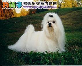 专业繁殖精品马尔济斯犬多只在售 欢迎上门挑选签