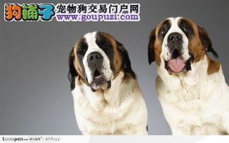 出售赛级纯种圣伯纳幼犬健康品质终身质保本市免费