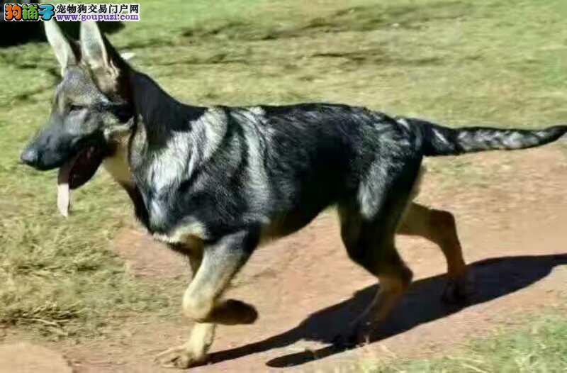 出售纯种昆明犬宝宝,大骨量,可签协议包健康包纯种