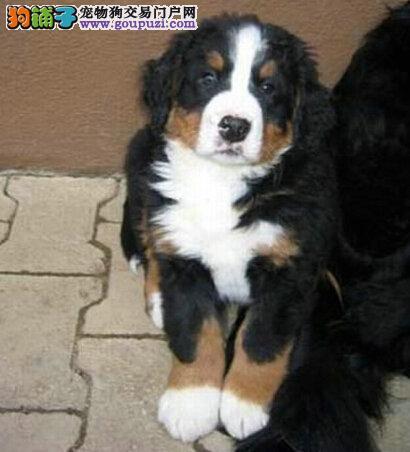 巨型猛犬伯恩山幼犬签订售犬协议