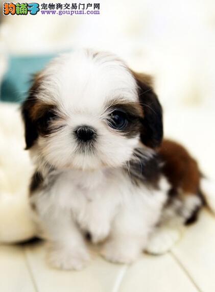 高雅气质西施犬玩赏犬伴侣犬的首选疫苗做