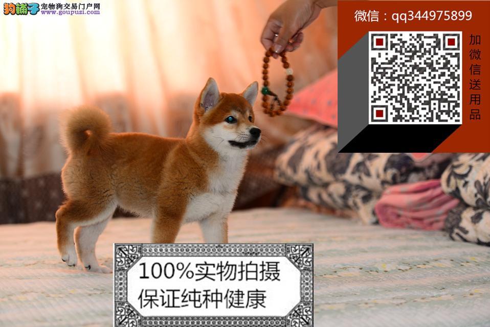 元旦节八折出售日系柴犬 纯种柴犬价格