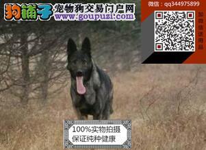 纯犬昆明犬 专业繁殖昆明犬 训练昆明犬