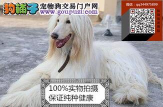 纯种阿富汗犬健康品质终身质保