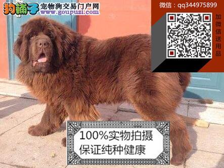纯种纽芬兰幼犬出售,高品质纽芬兰幼犬