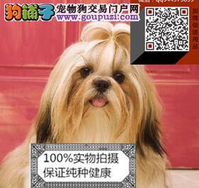 精品西施犬 疫苗驱虫已做 签购犬协议 可配种