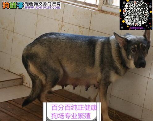 犬舍直销昆明犬一签协议一包养活一三个月可退换