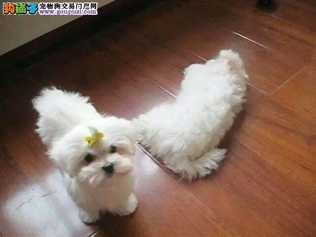 纯种双血统马尔济斯犬幼犬出售公母均有 保障健康