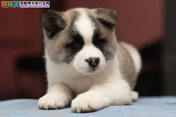 纯种秋田犬、保健康、血统纯、疫苗都打好、包活