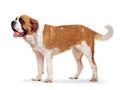 养殖场直销圣伯纳犬等幼犬 品种齐全 包健康 送