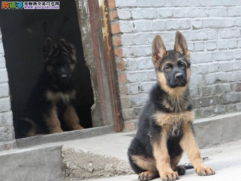 狼狗幼犬 常年出售 售前咨询 售后专业 满分