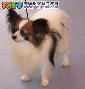 哪里有卖蝴蝶犬 蝴蝶犬多少钱 纯种蝴蝶犬