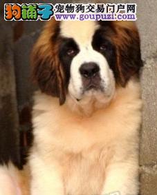 自家犬舍繁殖圣伯纳 可上门自提 可发货