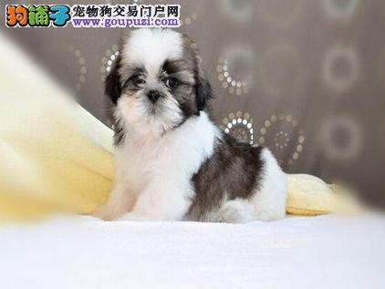 顶级 高品质的赛级 西施犬幼犬 CKU认证 完美售后