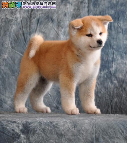 专业繁殖家养纯种 秋田犬 柴犬 欢迎参观选购